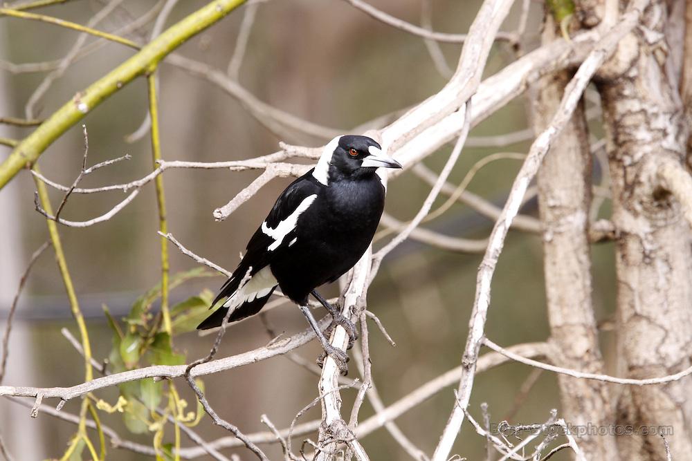 Australian Magpie, Gymnorhina tibicen, Australia, by Jonathan Rossouw