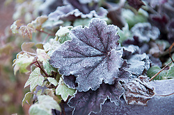 Autumn has ended as the first signs of winter appear as frost covers garden flowers, Angie Isac | EEm Monday 29 October 2018