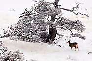 Mule Deer doe (Odocoileus hemionus) under tree after winter storm