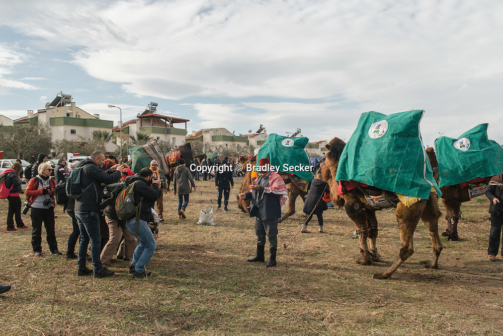TURKEY, Izmir, Selçuk. Competing camels are kept outside the wrestling arena between their matches at the 35th annual Selçuk Camel Wrestling Festival. Fans and press meet camel owners and trainers.