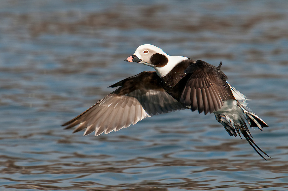 Long-tailed Duck, Clangula hyemalis, male, Lake Ontario, Ontario, Canada