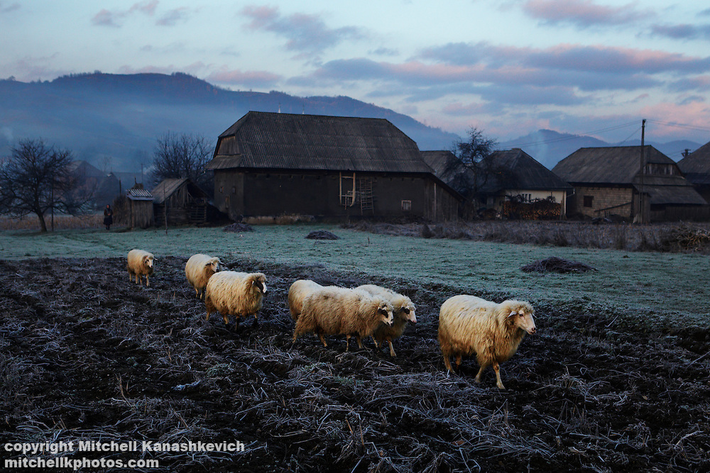 Village life in late autumn (fall) in Maramures - sheep walking over frozen crop fields