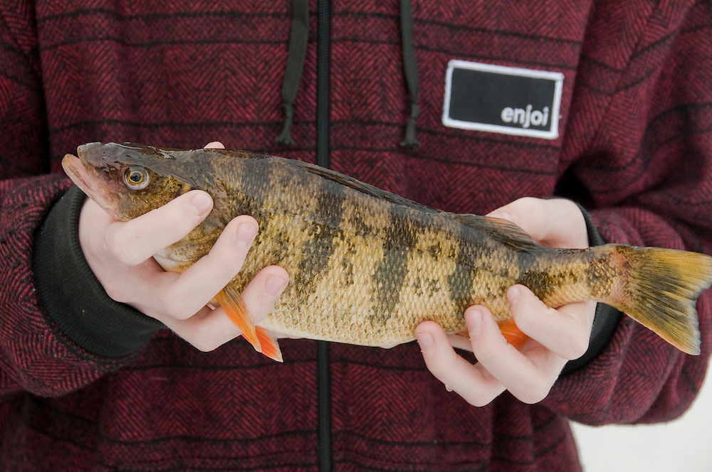 A young ice fisherman holds a large jumbo perch caught on Little Bay de Noc near Gladstone and Escanaba Michigan.
