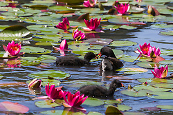 Englefield Green, UK. 27 June, 2019. A moorhen feeds chicks on a warm, sunny June day at the Cow Pond, an ornamental lake gilded with four different types of water lily, coloured white, pink, carmine red and gold, in Windsor Great Park. Temperatures are expected to rise in the south of England before the weekend as the heatwave intensifies still further in much of mainland Europe. The Cow Pond was renovated in 2012 to commemorate the Queen's Diamond Jubilee.