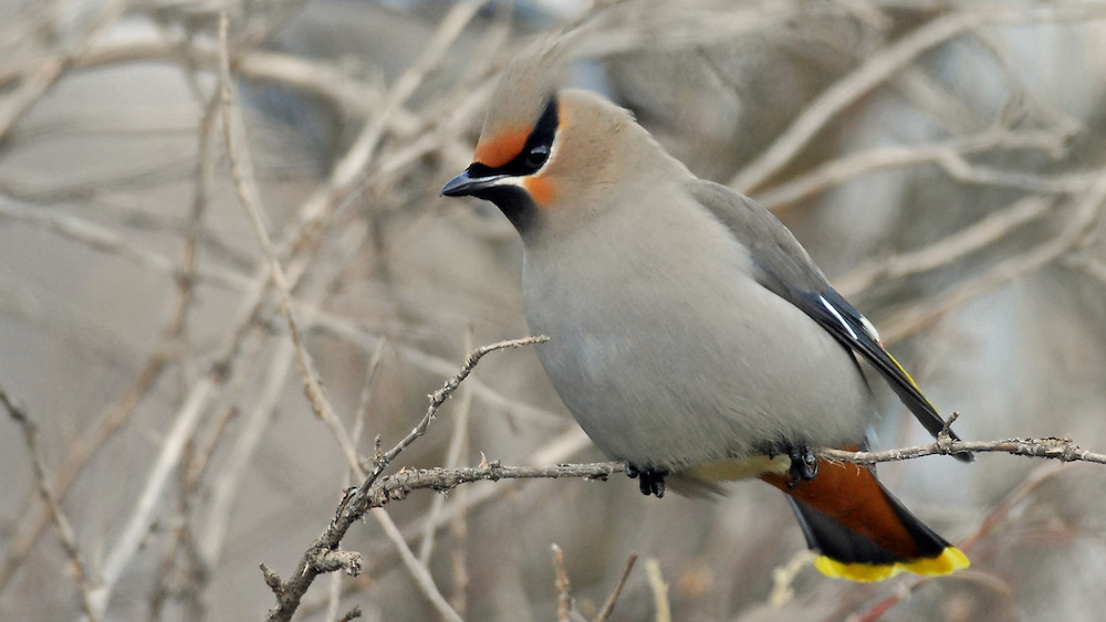 The bohemian waxwing is a winter resident in the Yellowstone area and is often spotted in large flocks feasting on berries produced by trees and shrubs.