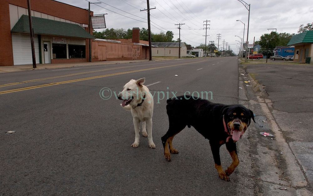 23 Sept 2005. Port Arthur, Texas.  Hurricane Rita evacuation. <br /> Dogs, cut loose to run free roam the deserted streets of downtown Port Arthur, evacuated by almost all residents.  <br /> Photo; &copy;Charlie Varley/varleypix.com