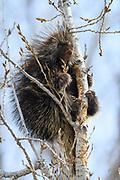 North American Porcupine (Erethizon dorsatum), Montana