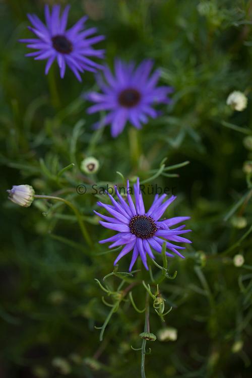 Brachyscome iberidifolia 'Blue Star' - Swan River daisy