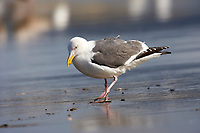 Western Gull (Larus occidentalis),  Point Reyes National Seashore, California, USA