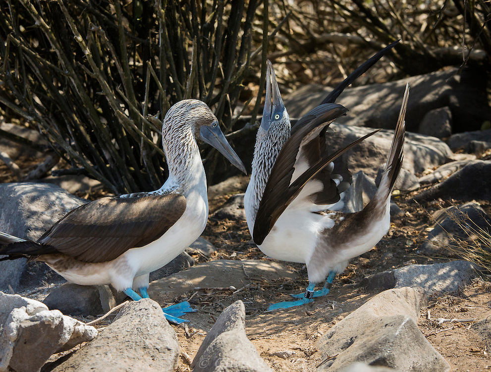 Blue-footed Boobies during mating ritual, Galapagos