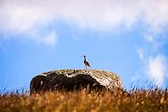 Long Billed Curlew on a Prairie Erratic