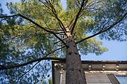 Blue Atlas Cedar, Mapp Athens, Tree Tour, college green