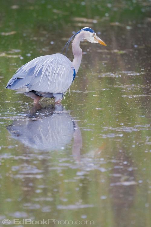 Great Blue Heron (Ardea herodias fannini) in a pond on the Kitsap Peninsula near the Hood Canal region of Puget Sound, Washington, USA.