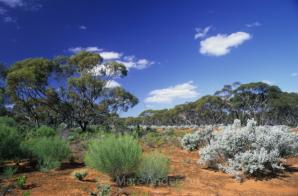 Semi desert Mallee landscape, with desert plants and shrubs, South Australia.