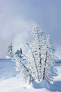 Frost and snow-covered pine trees; West Thumb Geyser Basin, Yellowstone National Park, Wyoming.
