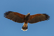 Harris's hawk flies close over head, showing its wide wings with the distinctive trailing edge curve, blue sky background. This bird has a transition plumage between juvenile and adult. © 2012 David A. Ponton