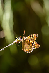 argusvlinder, Lasiommata megera