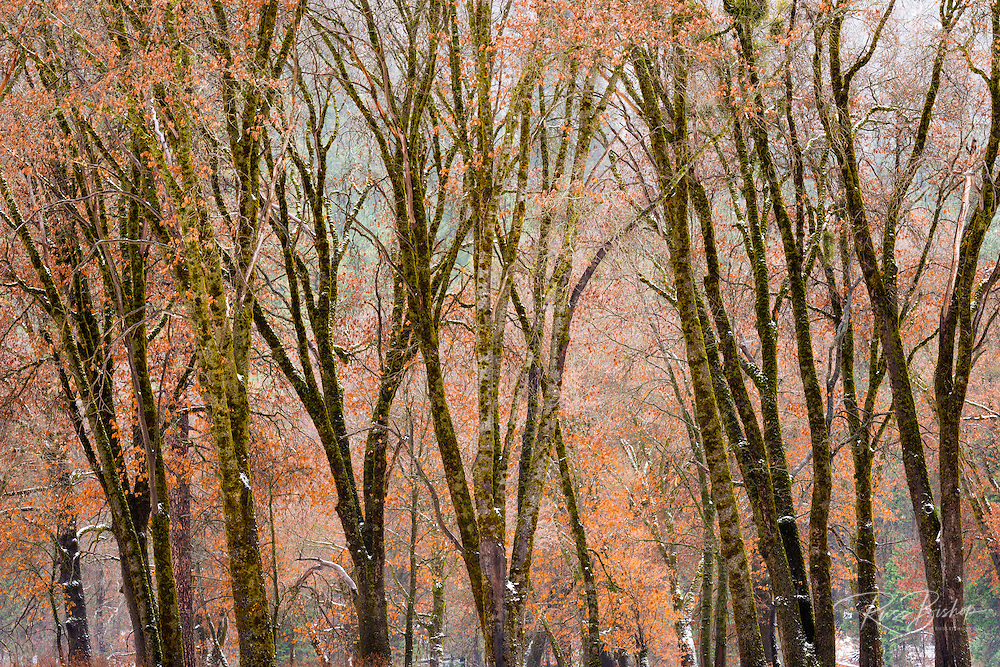 Black oaks in winter, Yosemite Valley, Yosemite National Park, California USA