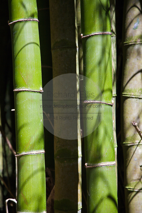Bamboo growing in the El Yunque rainforest Puerto Rico