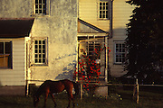 Horse eats grass outside Amish stucco house with rose arbor, Lancaster Co., PA