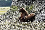 A grizzly bear sow prepares to nurse her spring cubs along the lower lagoon at the McNeil River State Game Sanctuary on the Kenai Peninsula, Alaska. The remote site is accessed only with a special permit and is the world's largest seasonal population of brown bears.
