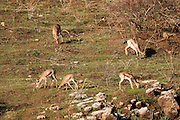 Mountain Gazelle (Gazelle gazelle). Photographed in the Lower Galilee, Israel. The Mountain gazella is the most common gazelle in Israel, residing largely in three areas. Its population decreased greatly throughout its natural range in the first part of the 20th century due to poaching and successful breeding of Iranian wolves, but increased thereafter in Israel due to conservation efforts.