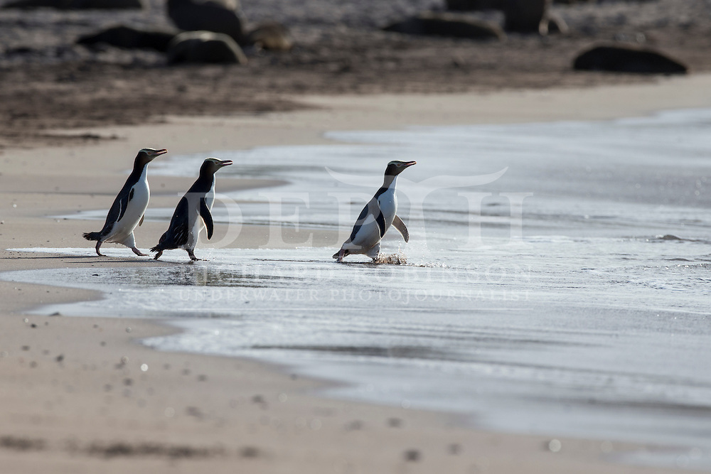 Megadyptes antipodes (Yellow eyed penguin) at Sandy Bay, Enderby Island, Auckland Islands, New Zealand.<br /> 07 January 2016<br /> Photograph Richard Robinson &copy; 2016