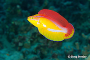 flame wrasse, Cirrhilabrus jordani ( endemic species ), terminal male or supermale phase in courtship display, Hookena, Kona, Hawaii ( Central Pacific Ocean )
