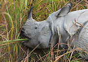 Indian rhinoceros (Rhinoceros unicornis) in Kaziranga NP, Assam, India.