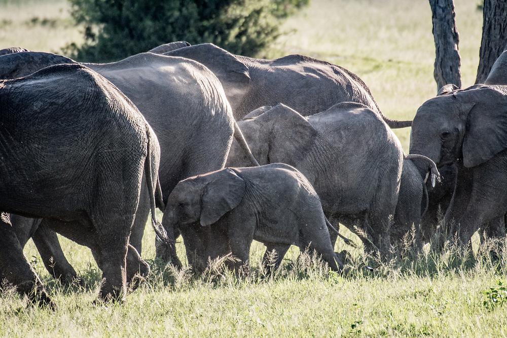 A family of elephants march across the landscape of Hwange National Park. Hwange, Zimbabwe.