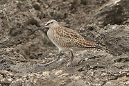 Whimbrel photos