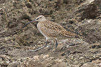 Whimbrel photo Hawaii