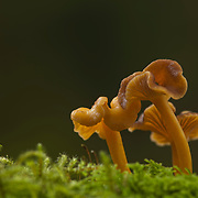 Group Chanterelle mushrooms in moss against dark background