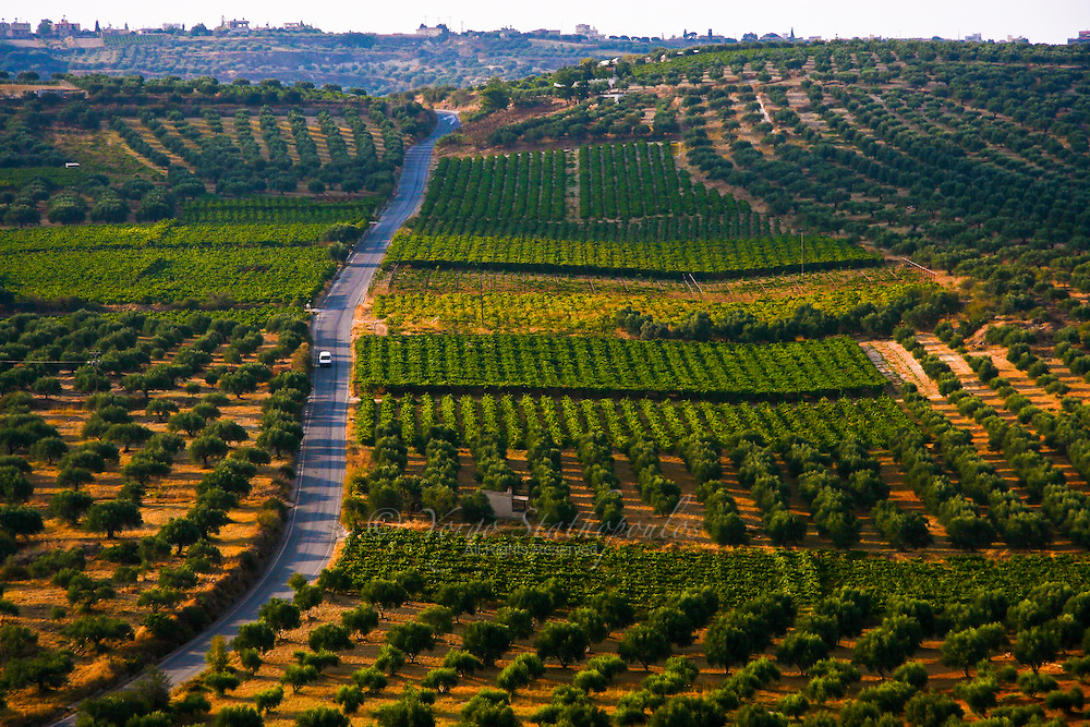 Olive tree groves and vineyards are predominant throughout Crete