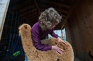 April 22, 2011 - Sonya Hanson, co-owner of Ice Pond Farms in Cranston, RI, checks the quality of the fiber on Chicklit, a young alpaca. .
