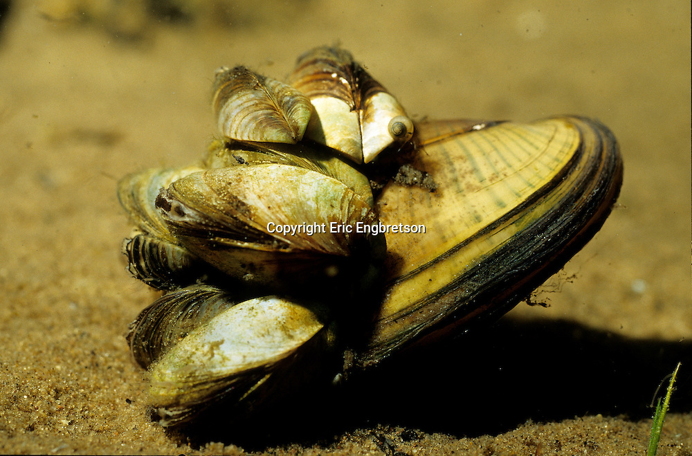 Zebra Mussel attached to shell of native mussel<br />
