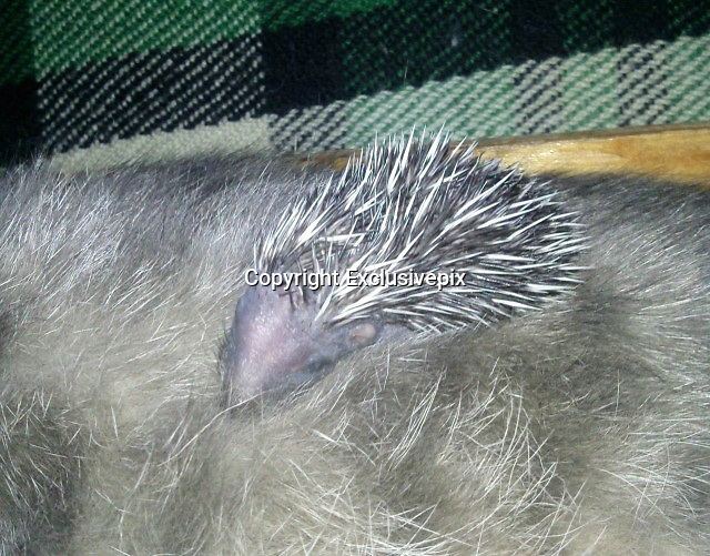 It&rsquo;s a hedge-mog! Baby hedgehog is nursed back to health by cat after being abandoned by its mother <br /> <br /> The future didn't look too hopeful for this hedgehog when it was abandoned by its mother, but it has been given a new lease of life thanks to a cat.<br /> <br /> The cat looked after the baby hedgehog alongside her own kittens when it was too weak and scared to survive on its own.<br /> <br /> Her care helped to build up its strength and when it was finally well enough the cat's owner gave the hedgehog to an animal lover to look after.<br /> It lived in our apartment building lobby,' explained Victor who took in the abandoned baby hedgehog in Russia.<br /> <br /> It was given to our cat almost Immediately to try and eat, as he looked very weak but could only get itself warm under the cat.<br /> <br /> 'After some weeks together and now much stronger a friend of ours took him from us to bring him up.'<br /> &copy;Exclusivepix