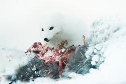 Arctic fox (Alopex lagopus) on dead reindeer in Spitsbergen, Svalbard, Norway