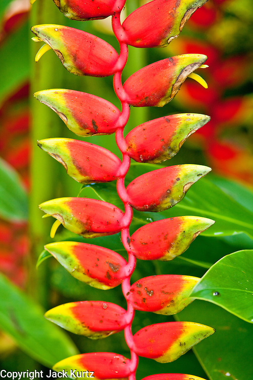 Apr. 22 - UBUD, BALI, INDONESIA:  Helconia flowers blooming in Ubud, Bali, Indonesia. Helconias are related to bananas and are an important food source for forest hummingbirds.    Photo by Jack Kurtz/ZUMA Press.