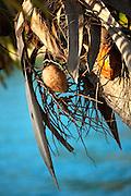 Coconut tree, Likuliku Lagoon Resort, Malolo Island, Mamanucas, Fiji