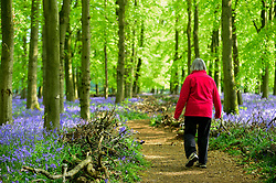 © Licensed to London News Pictures. 30/04/2019. ASHRIDGE, UK. A walker enjoys the bluebells bloom in Dockey Wood, Hertfordshire.  As the popular location experiences high numbers of visitors, the National Trust has imposed an entrance fee in recent years during busy periods with barricades of twigs and branches to demarcate pathways to protect the delicate flowers from being trampled.  Photo credit: Stephen Chung/LNP