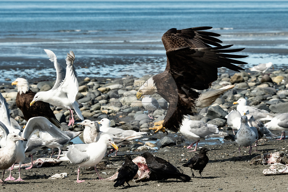 An adult bald eagle threatens a gull that got too close to fish scraps on the beach at Anchor Point, Alaska.
