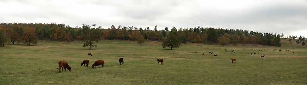 A wide panoramic image of cattle in a field during the fall.  Location south of Harthshorne, OK