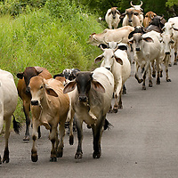 Moving cattle down te roads of the town of Rincon Santo in the region of Ocu, Province of Herrera, Republic of Panama.  Ocu is an area of the country well known for the fabrication of typical Panamanian dress.