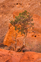 Lone Juniper tree (Juniperus osteosperma) at base of cliffs in Grand Wash, Capitol Reef National Park Utah