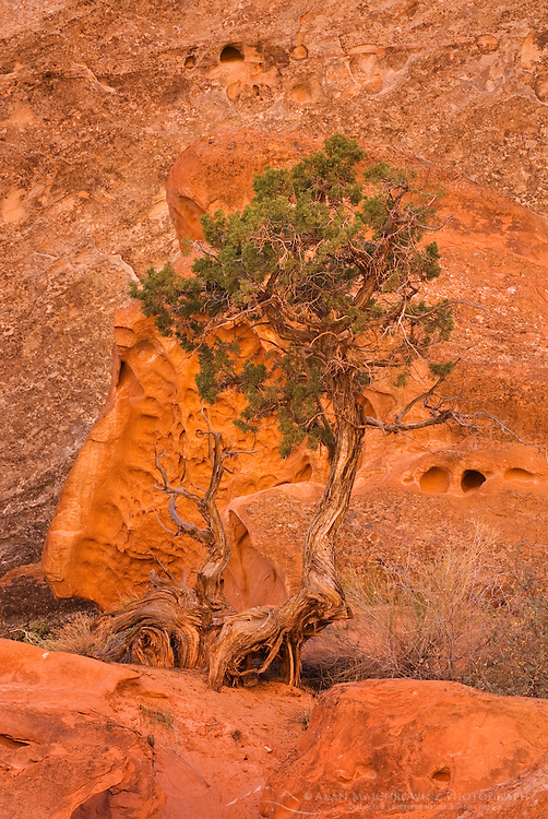 Lone Juniper tree (Juniperus osteosperma) at base of cliffs in Grand Wash, Capitol Reef National Park Utah