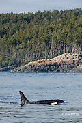 southern resident orca, or killer whale, Orcinus orca, off southern Vancouver Island, British Columbia, Strait of Juan de Fuca, Canada