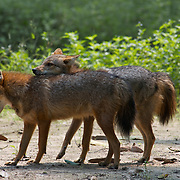A pair of wild golden, or Asian, jackal, C. aureus in Huai Kha Khaeng Wildlife Sanctuary in Thailand.