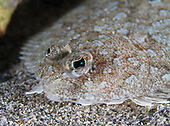 Lophonectes mongonuiensis (Crested flounder)