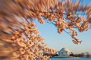 The Jefferson Memorial viewed through cherry blossoms in Washington, D.C.